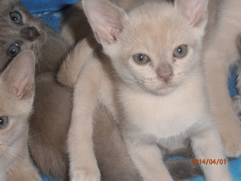 Kittens For Sale :: Charob Burmese