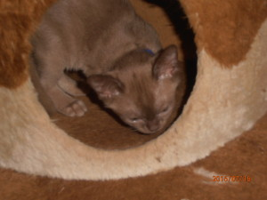 Brown kitten